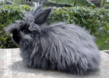 angora rabbit sketch