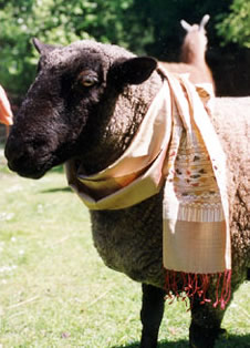 sheep wears silk scarf