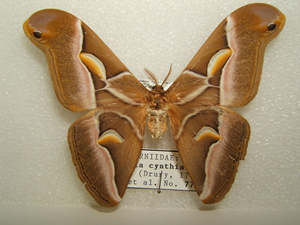 eri moth photo