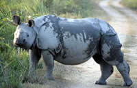 Asian one horned rhino